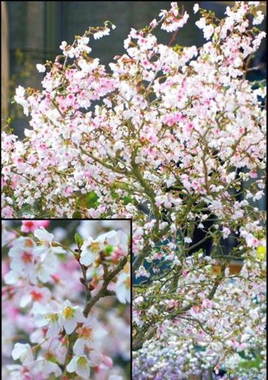 KOJO-NO-MAI (sakura)